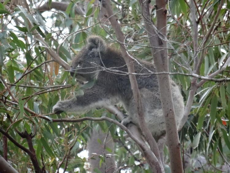 An active Koala!