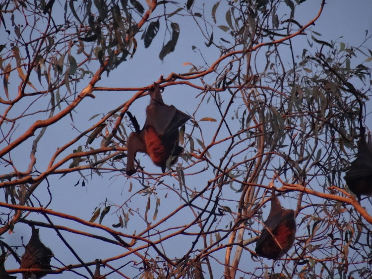 Flying Foxes are waking up